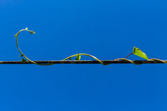 roślina pnący ilustracyjny wektor Obraz Royalty Free
