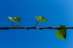 roślina pnący ilustracyjny wektor Fotografia Stock