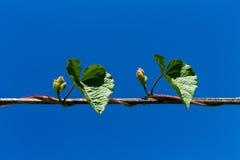 roślina pnący ilustracyjny wektor Zdjęcia Stock
