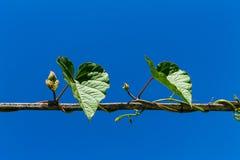 roślina pnący ilustracyjny wektor Zdjęcia Royalty Free
