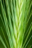 Roślina portreta ścienny jęczmień Obraz Stock