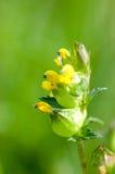 Roślina portreta brzęk Zdjęcie Royalty Free