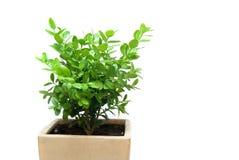 roślina pudełkowaty garnek Zdjęcia Royalty Free