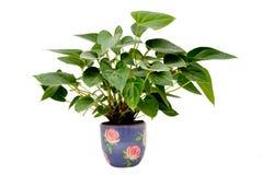 roślina puszkująca Fotografia Royalty Free