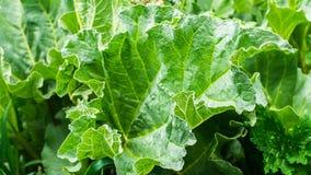 Roślina rabarbar z ampuły zielenią opuszcza w ogrodowym łóżku Lata ?niwo zdjęcie stock