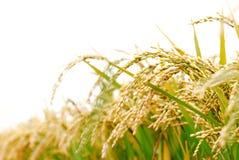 roślina ryż Obrazy Royalty Free