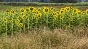 Roślina słonecznik Obraz Stock