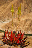 roślina sukulent Zdjęcie Royalty Free