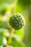 Roślina szczegół Zdjęcie Royalty Free
