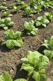 roślina tytoń Fotografia Stock