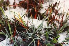 Roślina w śniegu zdjęcie royalty free