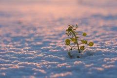 Roślina w śniegu Obraz Royalty Free
