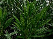 Roślina w ogródzie Z wod kroplami obraz stock