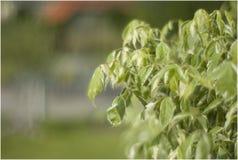 Roślina w przedpolu z ogrodowym tłem Obrazy Royalty Free