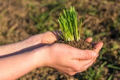 Roślina w rękach Obraz Royalty Free