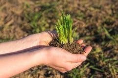 Roślina w rękach Fotografia Stock