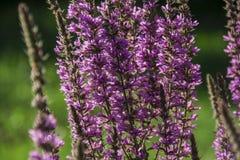 Roślina wrzosu kwiat fotografia royalty free