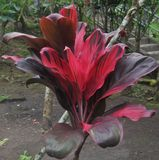 Roślina z czerwień liśćmi w Bali Indonezja zdjęcie stock