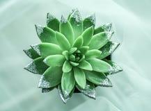 Roślina z góry Kaktus jak ro?lina zdjęcie stock