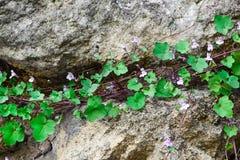 Roślina z kwiatami i zielonymi liśćmi r na kamieniu Pojęcie przetrwania i życia siła Obraz Royalty Free
