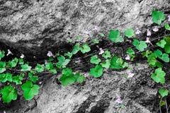 Roślina z kwiatami i zielonymi liśćmi r na kamieniu Pojęcie przetrwania i życia siła Obrazy Royalty Free