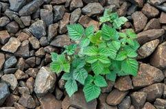 Roślina z zieleń liśćmi na brown kamieniach Fotografia Stock