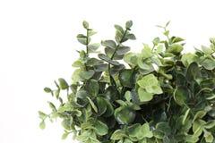 Roślina z zielenią opuszcza w białym tle Obraz Stock