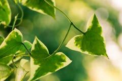 Roślina z zielonymi trójboków liśćmi obraz stock