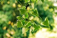 Roślina z zielonymi trójboków liśćmi obraz royalty free