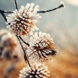 Roślina zakrywająca z hoarfrost Fotografia Royalty Free