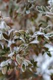 Roślina zakrywająca z hoarfrost Zdjęcia Royalty Free