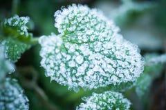 roślina zakrywający śnieg Obraz Royalty Free