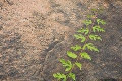 Roślina zielony liść na piaska kamieniu Zdjęcie Stock