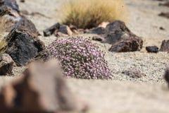 Roślinność w sposobie Teide wulkan, Canarian wyspa, Hiszpania Zdjęcie Royalty Free