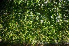 Rośliny ściana Zdjęcia Stock