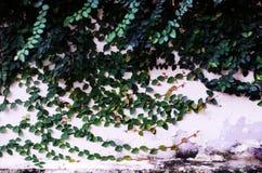 Rośliny ściana Obraz Royalty Free