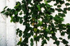 Rośliny ściana Obrazy Stock