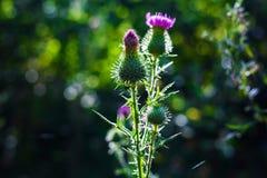 Rośliny agrimony z różowymi kwiatami Fotografia Stock