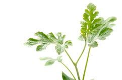 rośliny arbuza potomstwa Obraz Stock
