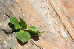 rośliny banana ściana Obrazy Royalty Free