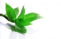 Rośliny Callisia fragrans na białym tle Zdjęcia Stock