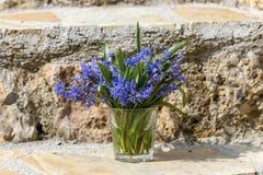Rośliny cebulica z błękitem kwitnie w glassful obraz stock