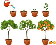Rośliny dorośnięcie od ziarna pomarańczowy drzewo Etap życia roślina ilustracji