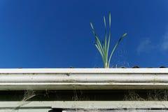 Rośliny dorośnięcie w rynnie Utrzymanie zaległy przed deszczami obraz stock