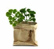 Rośliny drzewo w papierowym garnku, Zielony środowiska pojęcie Zdjęcia Stock