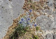 Rośliny Eryngium amethystinum w górę zdjęcie royalty free