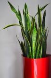 rośliny garnka czerwień Obrazy Stock