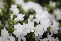 rośliny genus od rodziny wrzos rośliny obraz royalty free