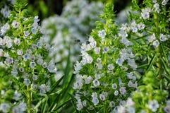 Rośliny Gran Canaria Pszczoła zbiera roślina nektar Pollinat Fotografia Royalty Free