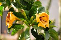 Rośliny Gran Canaria Złotej filiżanki flowet, początek Meksyk Botani Obraz Royalty Free